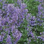 Fleurs bleu-violet de nepetas