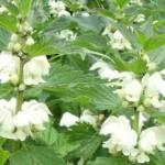 Fleurs blanches d'ortie