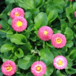 Fleurs roses de pâquerettes