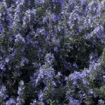 Fleurs bleues de romarin
