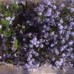 barquette-de-fleurs-de-nepetas