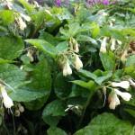 Fleur blanche de consoude