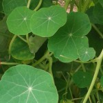feuilles-de-capucines