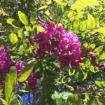 Fleur rose d'acacia