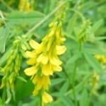 fleur-de-melilot