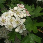 Fleurs blanches d'aubépine