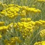 Fleurs jaunes d'immortelle