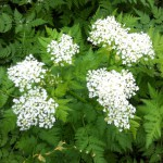 Fleur de cerfeuil de couleur blanche