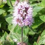 Fleur mauve de menthe