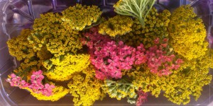 Barquette de fleurs d'achillée en mélange