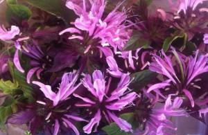 barquette-fleurs-de-monarde