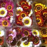 Barquette de fleurs de chrysanthème en mélange