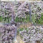 Barquette de fleurs de lavande de couleur mauve