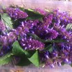fleurs-agastache-anisee