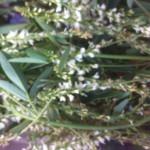 fleurs-de-melilot