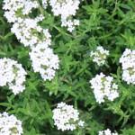 fleurs-de-thym